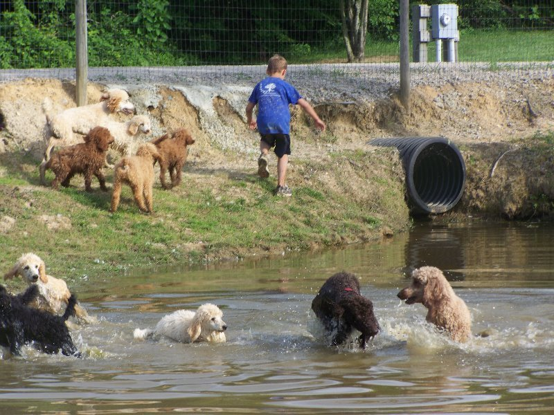 2009-7-a-visit-to-the-pond-is-a-favorite-thing-to-do-for-our-family-affair-standard-poodle-kids