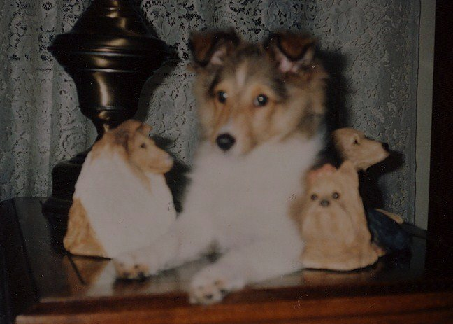 1990sheltiepuppiesweraised-1