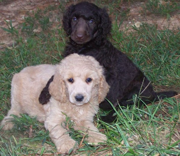 Black & Chocolate Standard Poodle Puppies and Poodles For