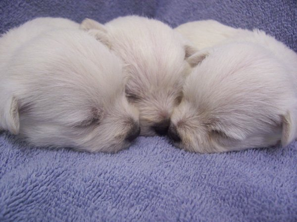4-precious-babies-westies