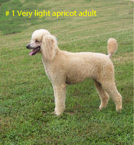 # 1 VERY LIGHT APRICOT ADULT