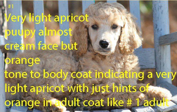 # 1 VERY LIGHT APRICOT PUPPY