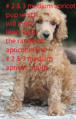 # 2 & # 3 MEDIUM  APRICOT PUP