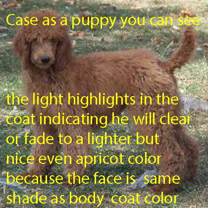 # 4 CASE A DARKER EVEN APRICOT PUPPY
