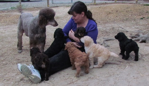Black & Grey Standard Poodles and Poodle Puppies For Sale | Family