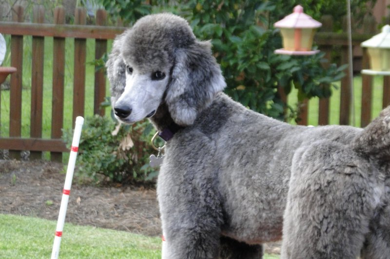 Poodle Puppy FAQ's - Caring for Your Poodle | Family Affair