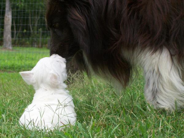 2005-summer-domino-westie-pup