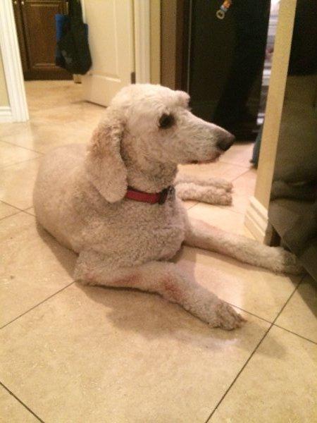 Standard Poodle Breeders - Buy a Standard Poodle Puppy