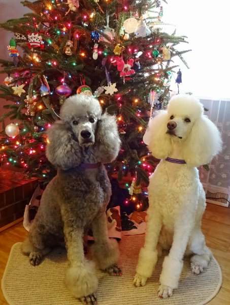 Standard Poodle Breeders Buy A Standard Poodle Puppy