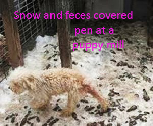 15-puppy-mill-adult-in-a-snow-and-feces-covered-run