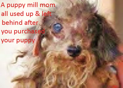 2-retired-mom-in-left-behind-from-your-puppy-iin-a-puppy-mill
