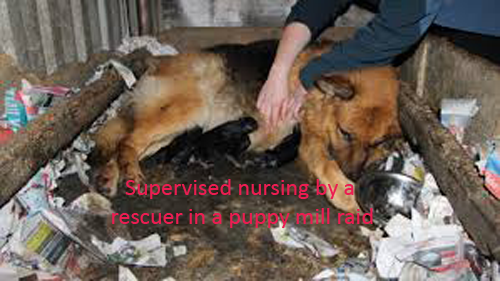 6-nursing-puppy-mill