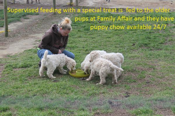 8-puppy-feeding