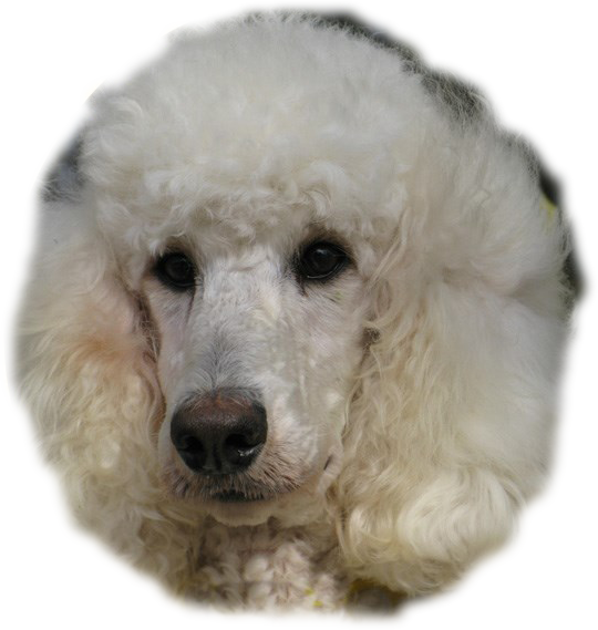 Silver & Beige Standard Poodles and Poodle Puppies ...