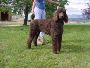 Standard Poodle Puppy Breeders