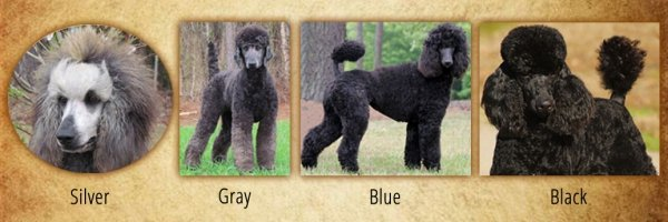 Red White Standard Poodles For Sale From Family Affair