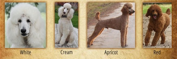 Red & White Standard Poodles for Sale from Family Affair