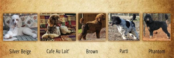 Red & White Standard Poodles for Sale from Family Affair Standards