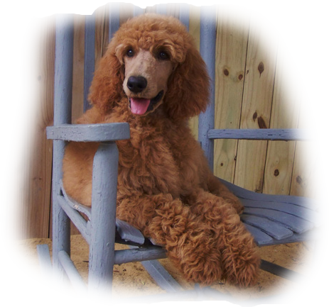 Standard Poodle Cost Standard Poodle Puppies For Sale