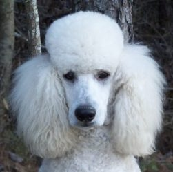 CLOUD – Nordog's Angelic White Cloud – Adopted