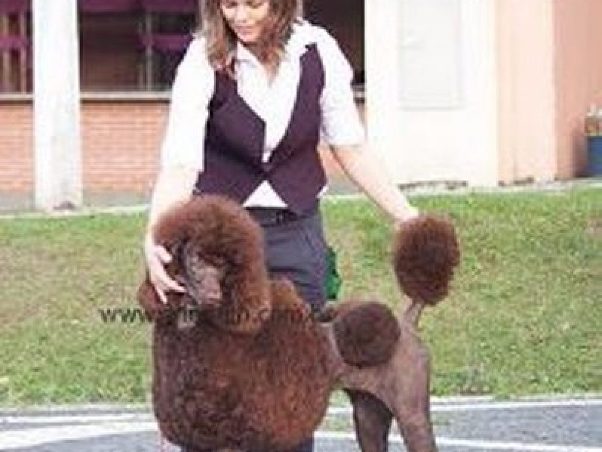 poodle puppy faq u0027s caring for your poodle family affair standards
