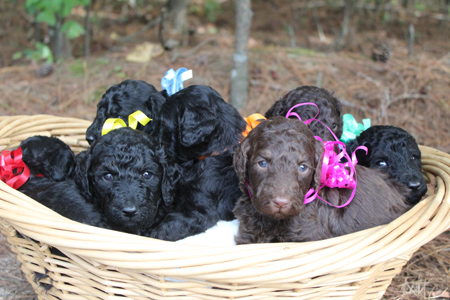 Eclipse and River's Litter – Blacks, Phantoms and Parti