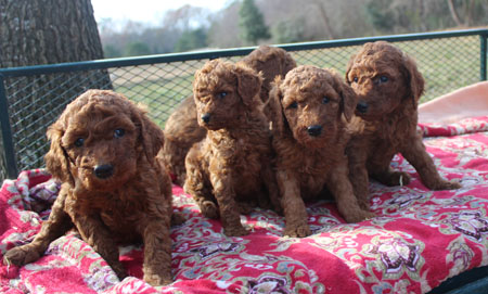 Ariel and Blaze's Litter – All Reds – All Sold