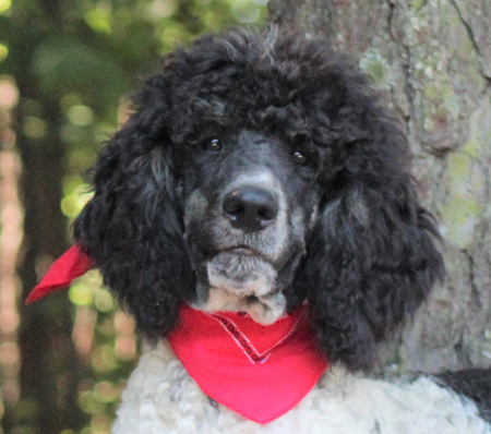 Apricot & Cream Standard Poodles and Poodle Puppies For Sale