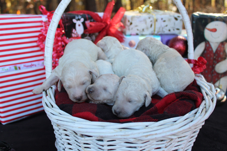 Ice and Rowdy's Litter – All Whites