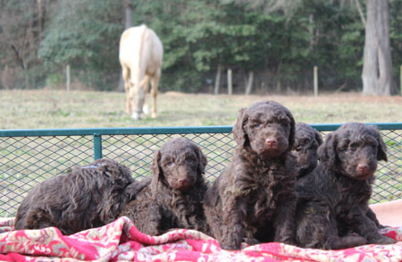 Sienna and Durango's Litter – All Browns
