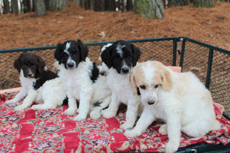 Tawny and Francisco's Litter – All Partis