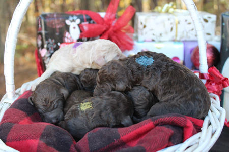 Terra and Toby's Litter – Browns and Creams
