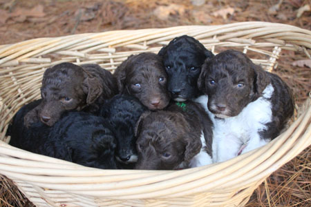 Vivian and River's Litter – Browns, Partis and Phantom