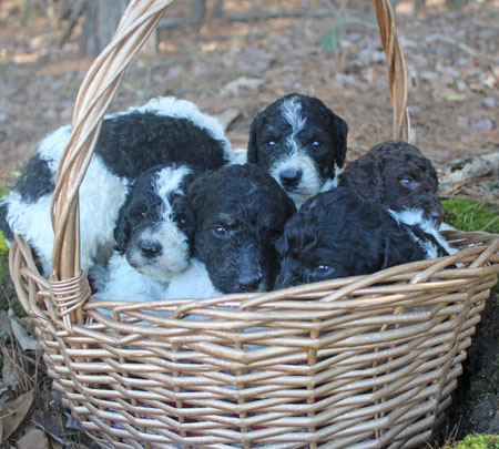 Cookie and Comanche's Litter – All Partis
