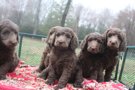 Spice and River's Litter – All Silver Beige's