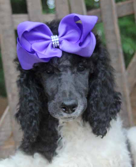 #0079 Truffle's Black/White Parti – Purple Polish – Female