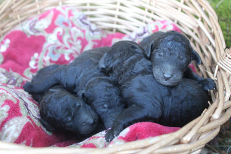 Helena and Finn's Litter – All Silvers