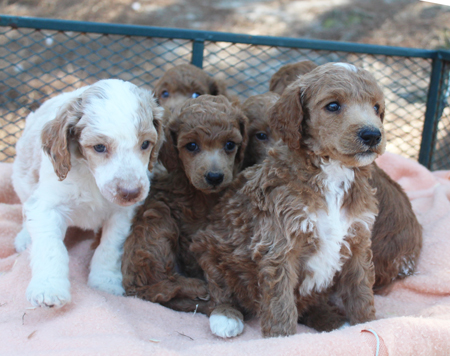 Scarlet and Francisco's Litter – Reds, Apricots and Cream
