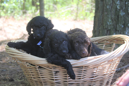 Alley and Toby's Litter – Browns and Blacks