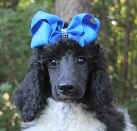 #23 Charli's Black/White Parti – Blue Polish – Female