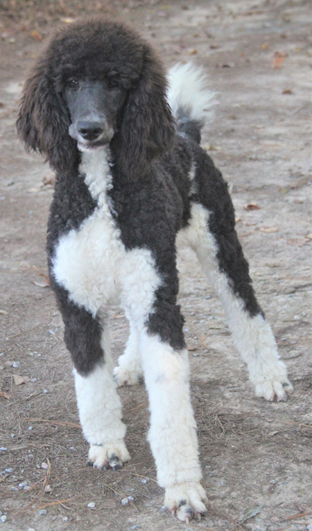 """Cherokee's Black/White Parti"" – White Polish – Female – Adopted"