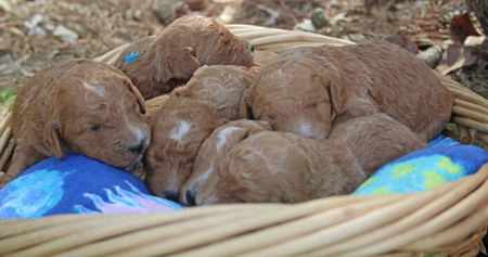 Ember and Francisco's Litter – Reds and Apricots