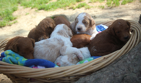 Ginger and Cash's Litter – Reds, Partis and Apricot