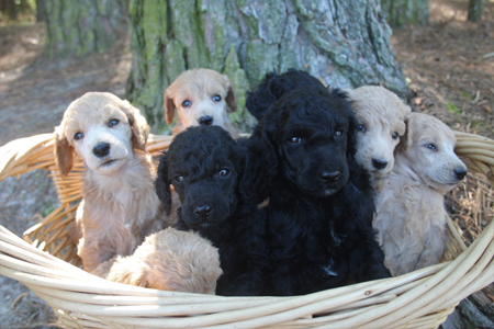 Medea and Clifford's Litter – Blacks and Creams