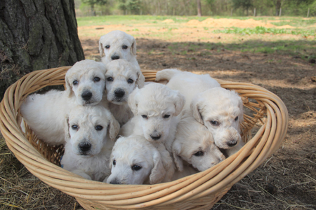 Satin and Rowdy's Litter – All Whites