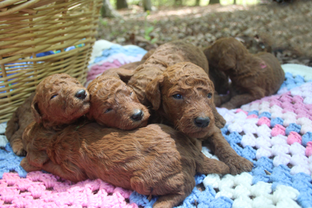 Candy and Blaze's Litter – All Reds