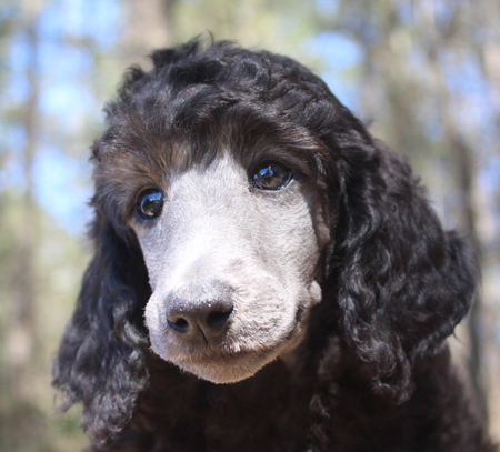 Parti & Phantom Standard Poodles and Poodle Puppies For Sale