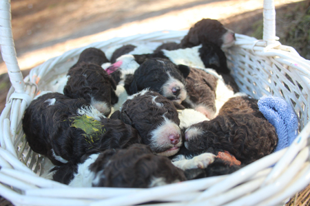 Purdy and Comanche's Litter – All Partis