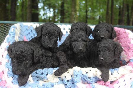 Stormy and Durango's Litter – All Blacks