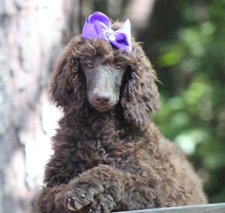 #0008 Snuggles' Brown Purple Polish Female